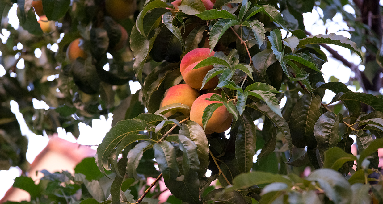 Reno Gleaning Project harvests tons of fruit from